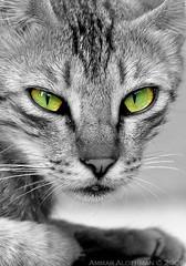 Green eyes photo by Ammar Alothman
