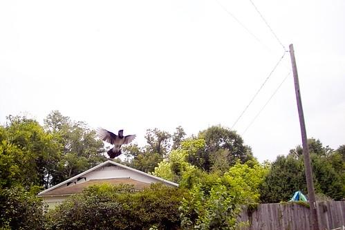 Attack Bird