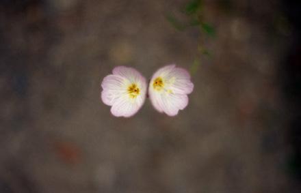 桃色昼咲月見草