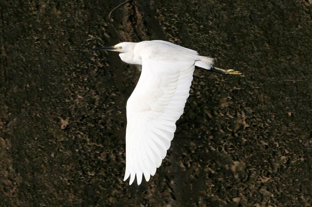 白鷺鷥飛行中