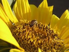 L'ape e il girasole /2