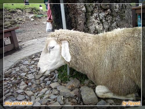 清境 live 之跟我一樣偷懶的綿羊