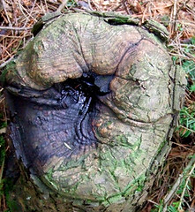 hemlock stump face