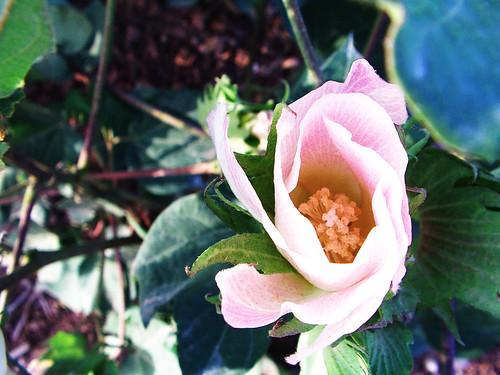 Flor del Algodón