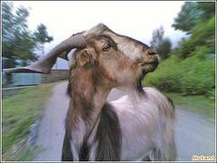 An Unknown Bakra