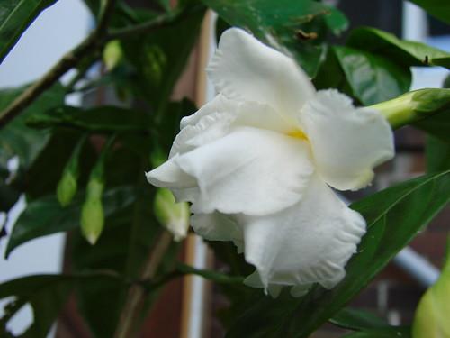 jasminesambuc