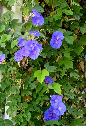 Morning Glories Trellis