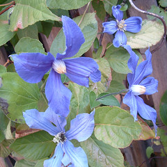 18 blue clematis