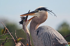 GREAT BLUE HERON - AND VERY HUNGRY YOUNG ONE! photo by ginger146
