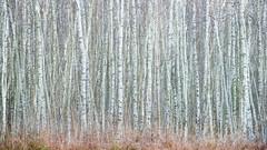 Birch Wall photo by elliot.hook