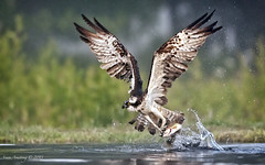 Osprey Sequence #3 photo by sumo1664