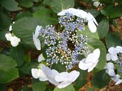 H. macrophylla 'Yodogama'