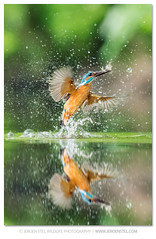 Kingfisher-Alcedo atthis photo by www.jeroenstel.com