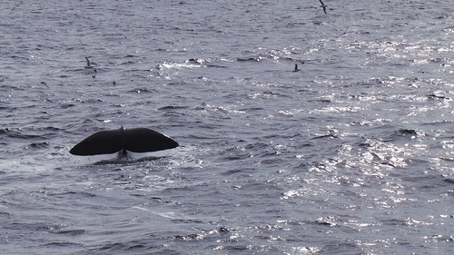 2013-0721 803 Andenes tweede duik walvis 37