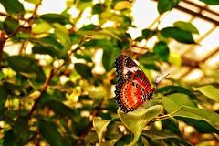 Red Lacewing Butterfly II photo by tweetybird42766