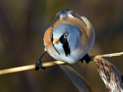 Bearded Tit - Panurus biamicus photo by normanwest4tography