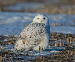 Snowy Owl (Nyctea scandiaca) photo by mesquakie8