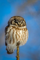 Boreal Owl photo by skram1v