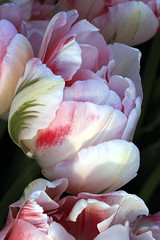 Lovely Pink and White Tulips photo by nancy_mic