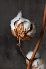 Cotton Bolls photo by suzanne.gibson