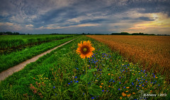 Groninger Landschap with Sunflower,Groningen,the Netherlands,Europe photo by Aheroy(2Busy)