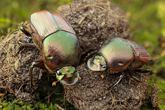 Dung beetle duo photo by andre de kesel