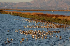 Baylands Flocks photo by Don McCullough