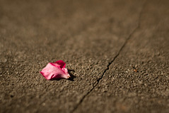 Single rose petal photo by coofdy