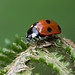 Ladybird on a Fern