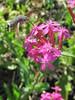 papillon Moro sphinx ou Macroglossum stellatarum