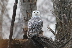 Snowy Owl photo by Baltimore Bartender