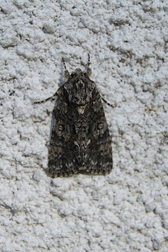 papillon Noctuelle de la patience (Acronicta rumicis ou Viminia rumicis )