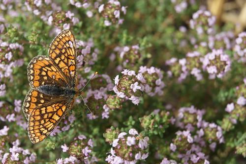 papillon Le Damier de la Succise ou l'Artémis - Euphydryas aurinia Rott (9)