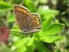 papillon argus bleu femelle