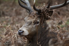 Deer photo by captainmcdan