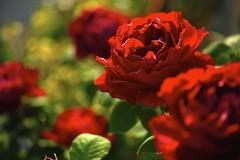 Vivid red 1  (SIGMA DP3 Merrill) photo by potopoto53age