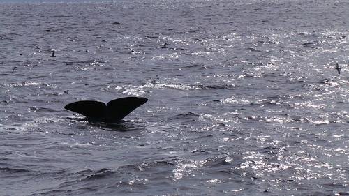 2013-0721 813 Andenes tweede duik walvis 37