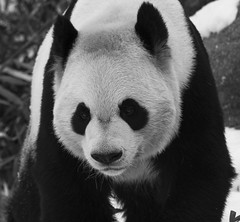 Giant Panda 10 photo by cypher40k Photography