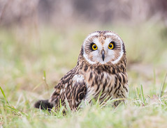 Close Encounter with a Short Eared Owl photo by rdknight