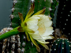 Moon Cereus Cactus photo by cotarr