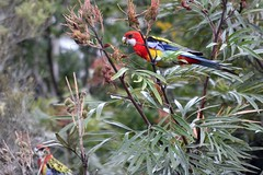 Eastern Rosellas...have duck-egg blue underpants photo by dustaway