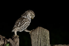 Little Owl (Athene noctua) photo by phil winter