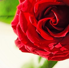 A single red rose (Explored) photo by BusyBee-cr