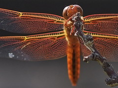 Orange Dragonfly photo by Aerogami.com