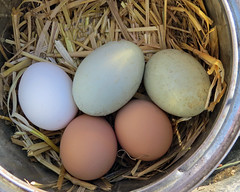 Farm Fresh Eggs photo by njchow82