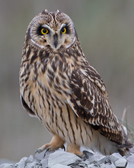 Short-eared Owl by Steve Gifford photo by Steve Gifford - IN
