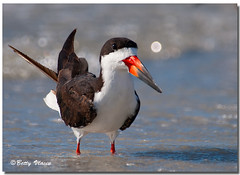 Black Skimmer photo by Betty Vlasiu