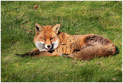 Another Fox Photo photo by RestlessFiona