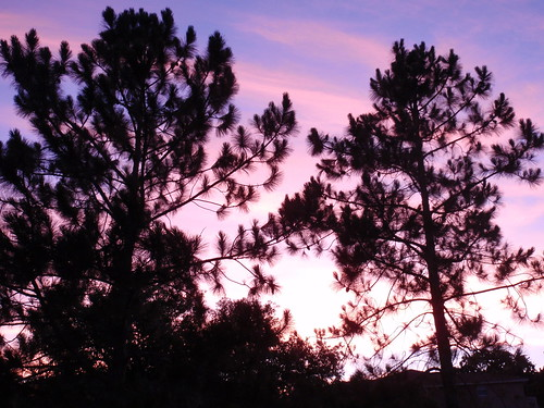 Pines Against a Dusky Sky