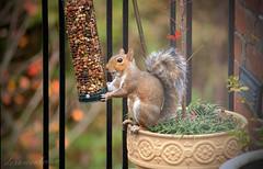 A Well Fed Squirrel photo by dorameulman